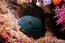 A parrotfish. You can see the protective bubble of spit he blows around himself when he's waiting for food.