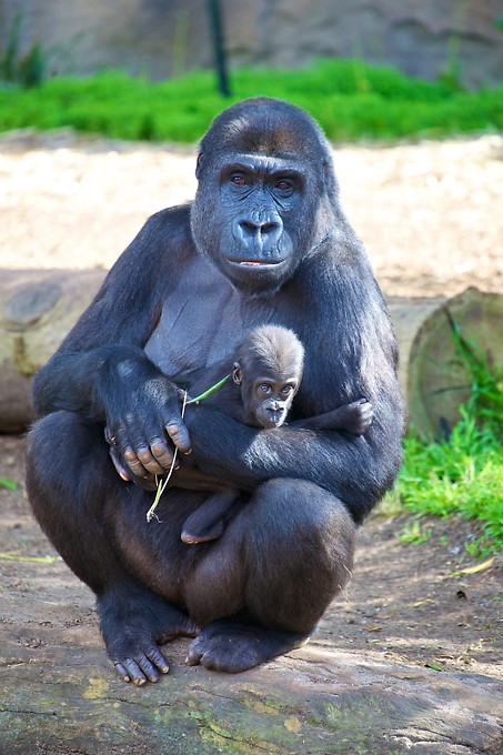 This gorilla at the Taronga Zoo recently gave birth to this baby gorilla. The pair is a favorite for both Katie and Naomi to watch.